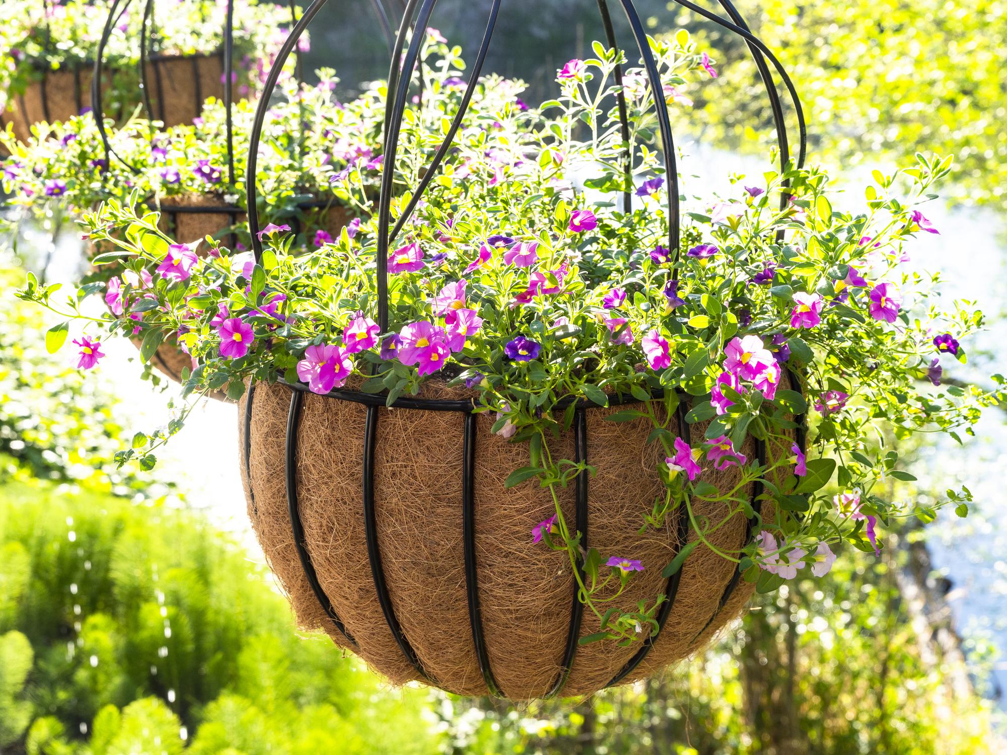 Hanging Baskets Pink Calibrachoa Flower Starts Coco-fiber Liner