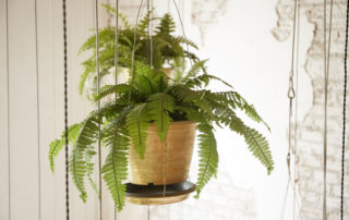potted hanging ferns